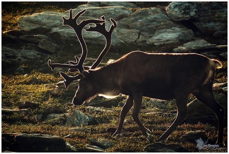 Reindeer at the top of Tyven, Hammerfest.